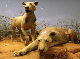cover-r4x3w1000-58ff4955214f3-lions-mangeurs-d-hommes